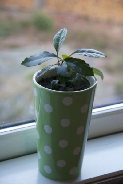 Lemon Plant - 7