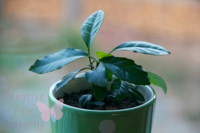 My Little Lemon Plant Grown From A Seed