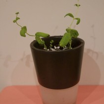 How To Propagate Mint